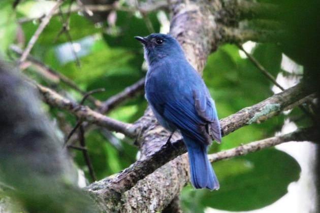 Nilgiri Flycatcher.jpg
