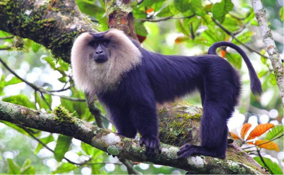 Lion Tailed Macaque.png