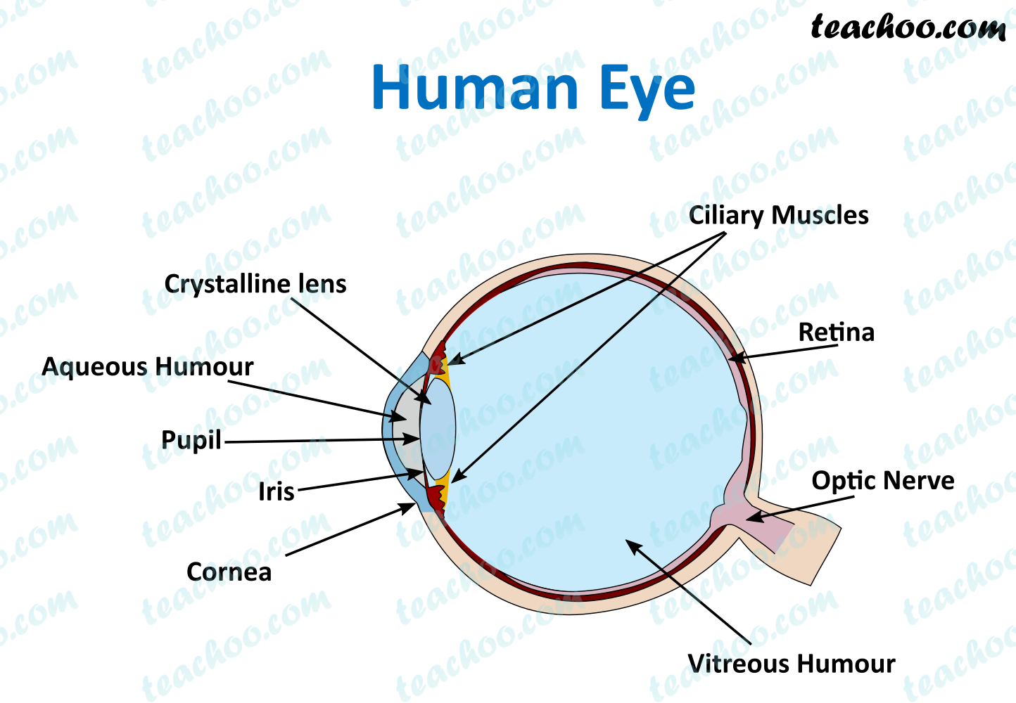 human-eye---teachoo.png