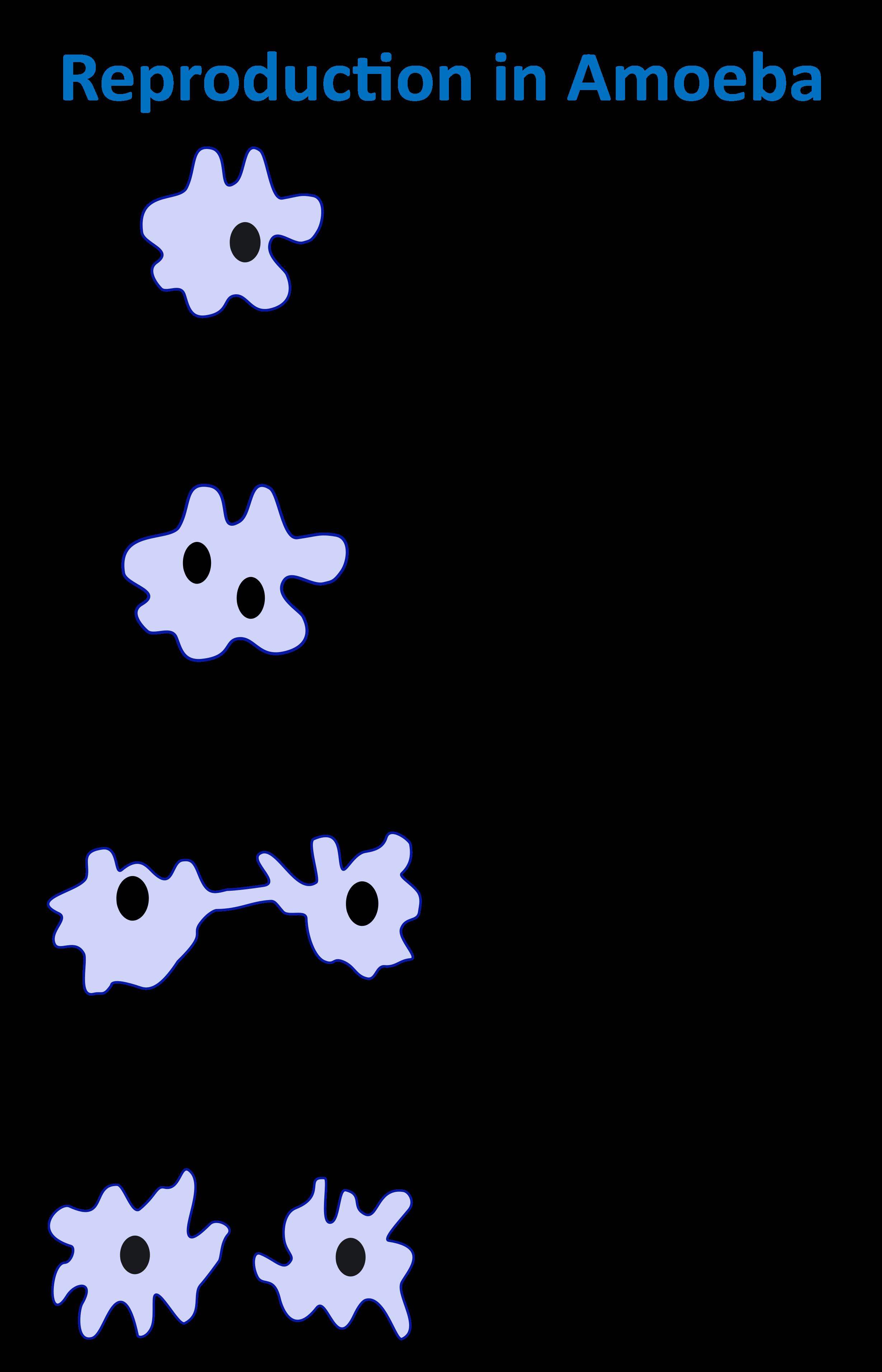 Reproduction in Amoeba.png