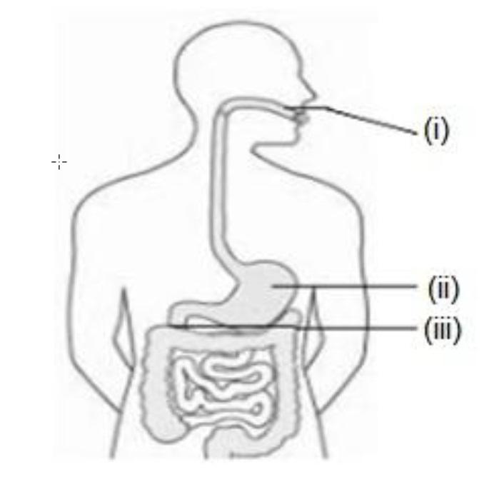 Q12 - correct enzyme that is secreted - Teachoo.jpg