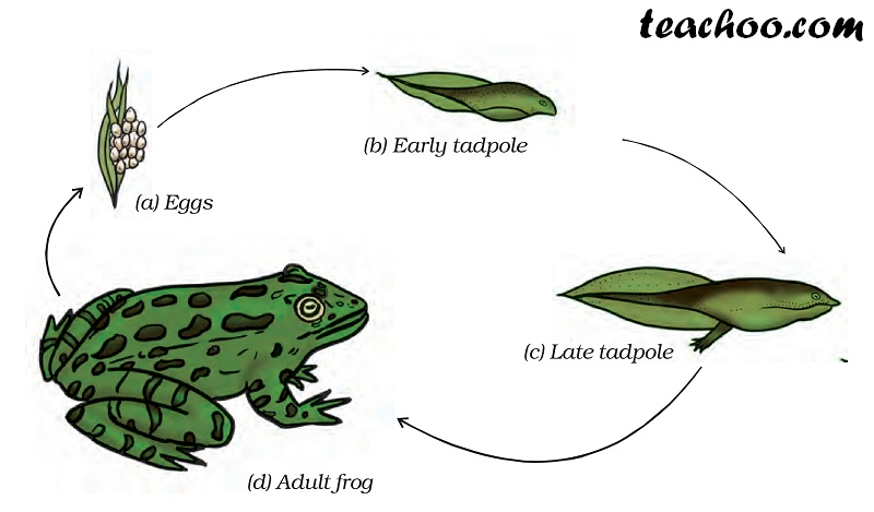 Adult frog - Teachoo.jpg
