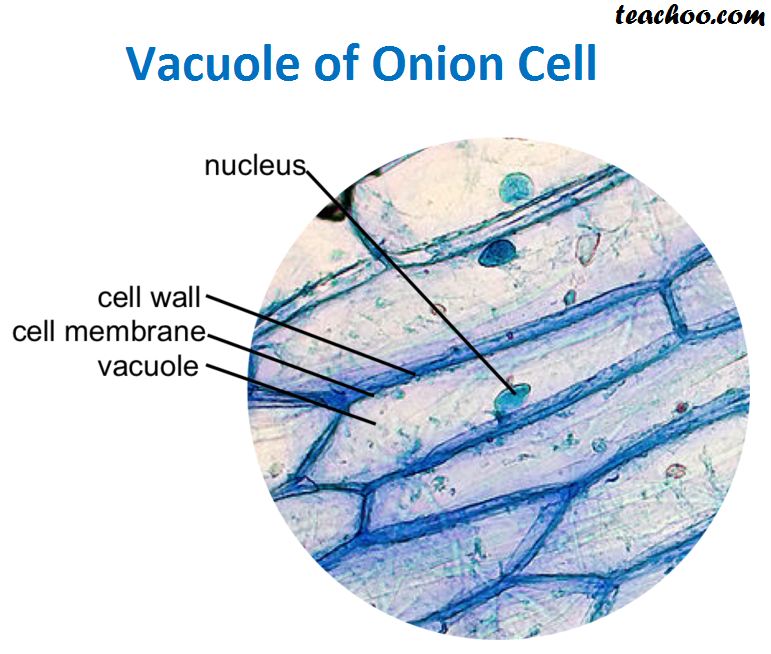 Vacuole of Onion Cell.png