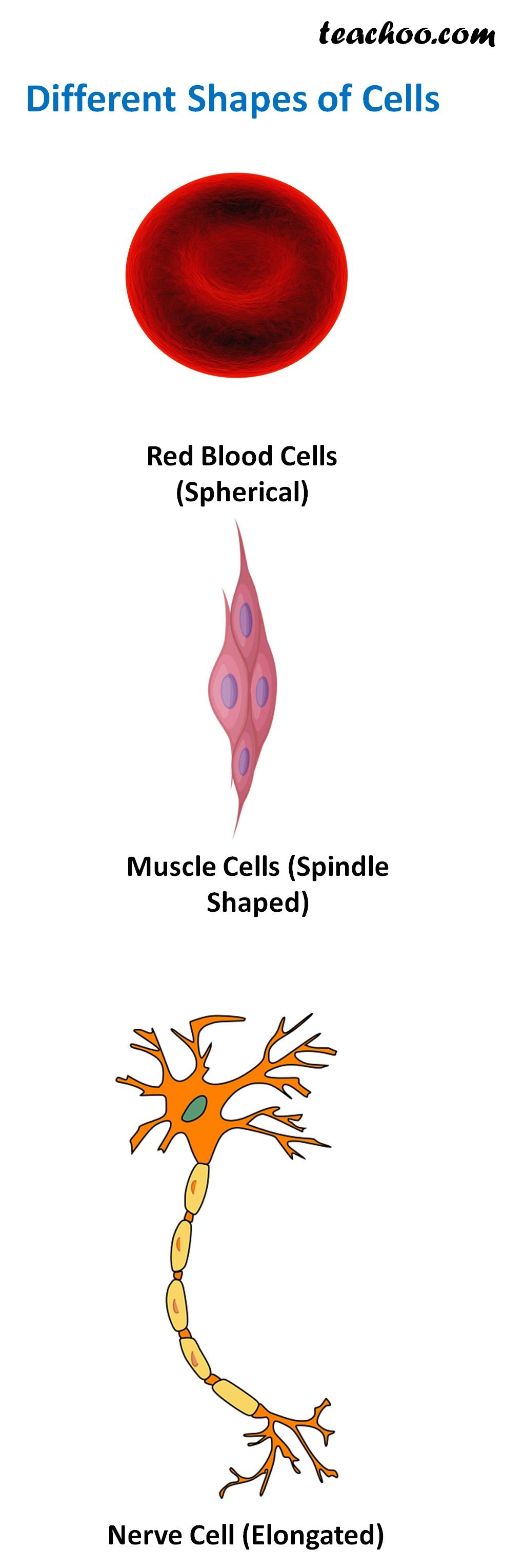 Different Shapes of Cells - Teachoo.jpg