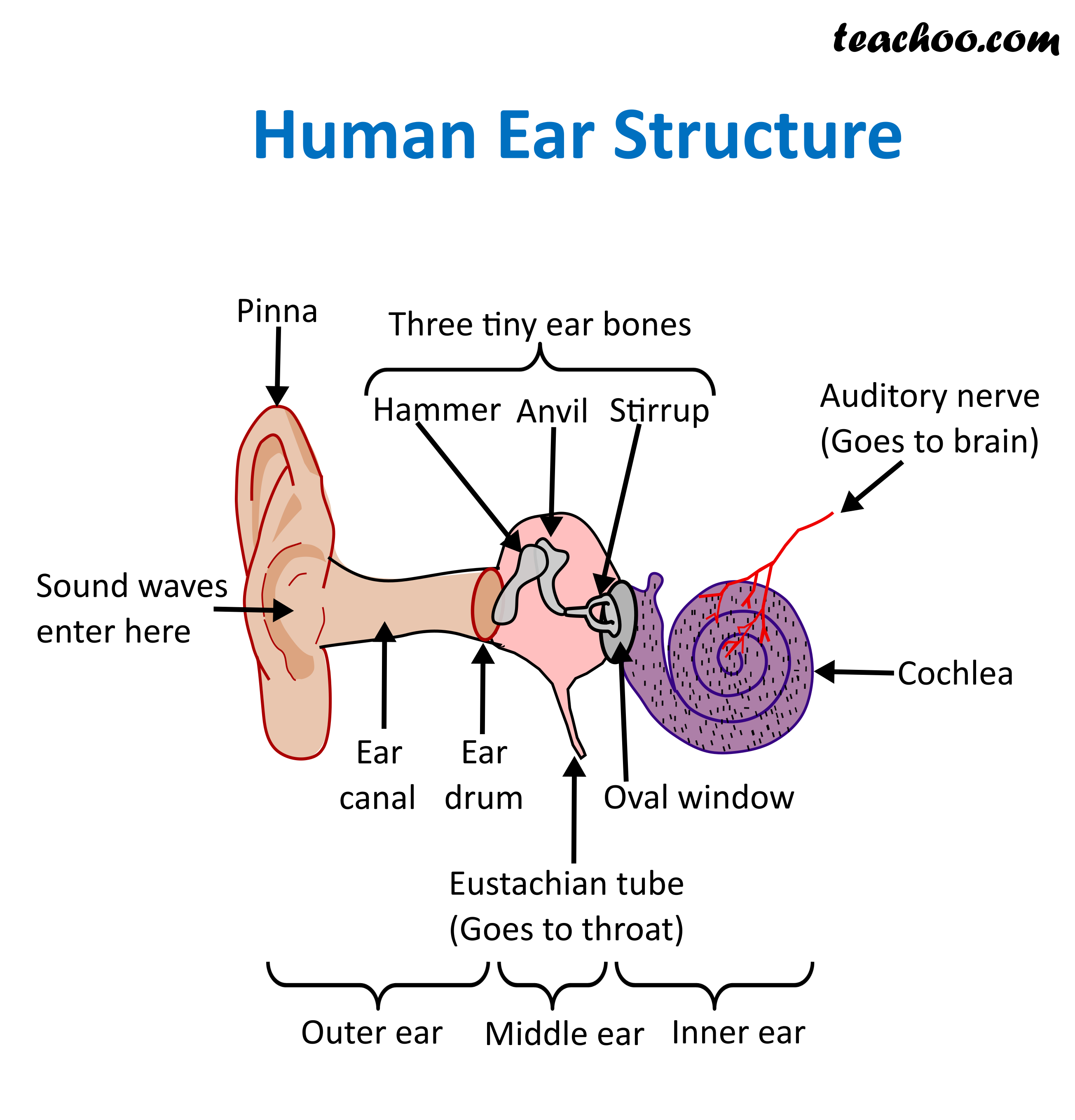 Structure And Function Of Human Ear - With Diagram