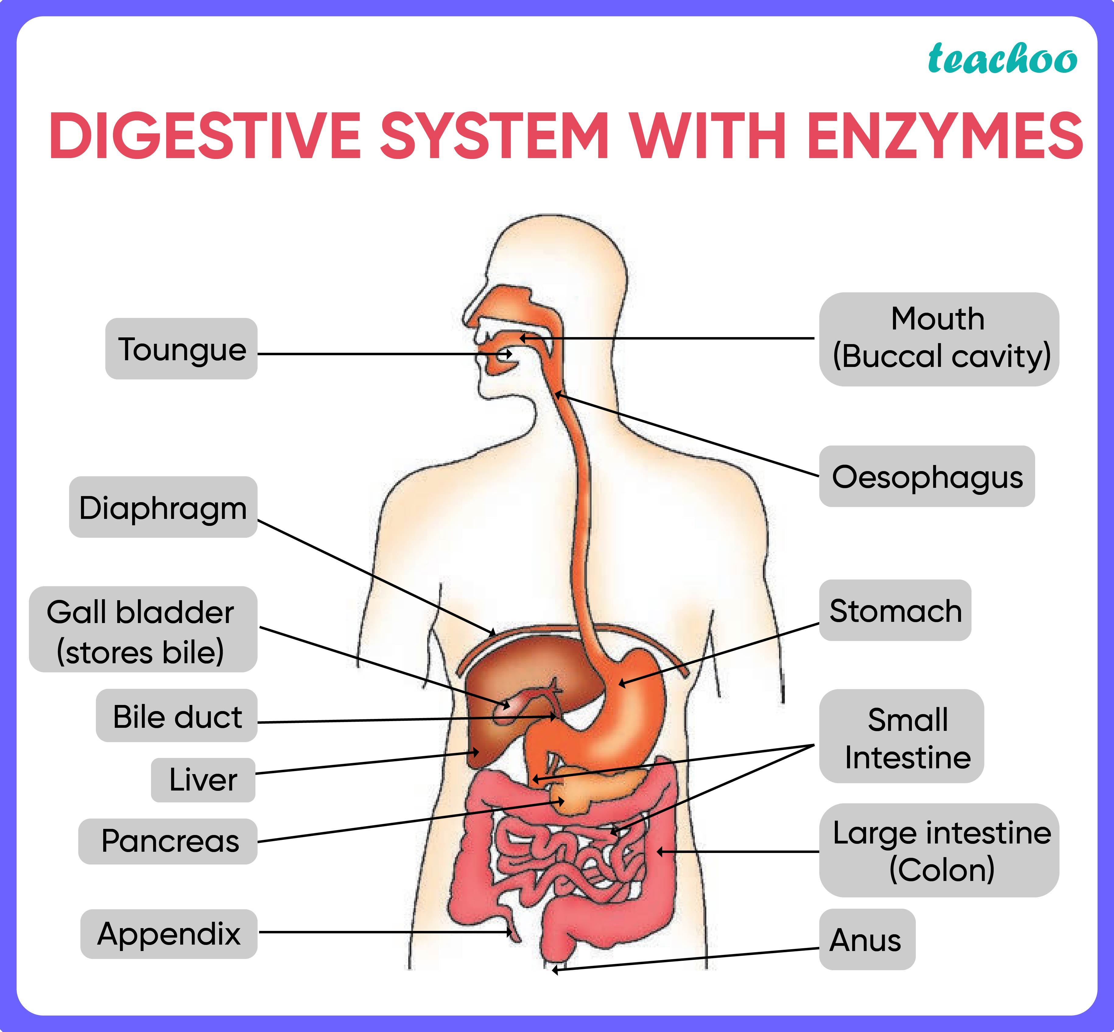 Digestive system with enzymes-01.jpg