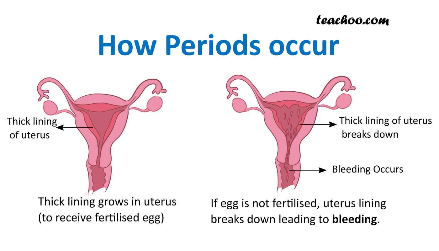 Periods in Females - Process Explained.png
