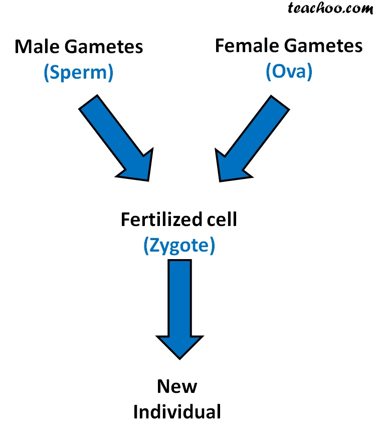 Male Gametes and Female gametes fertilized cell New Individual - Teachoo.jpg