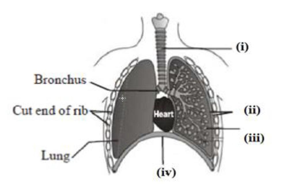Q11 - human respiratory system with labels - Teachoo.jpg