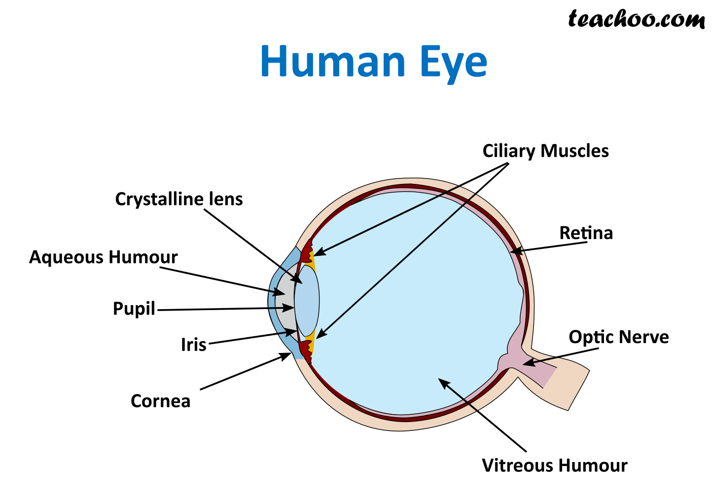 Ncert Q10 Draw A Labeled Sketch Of The Human Eye Class 8