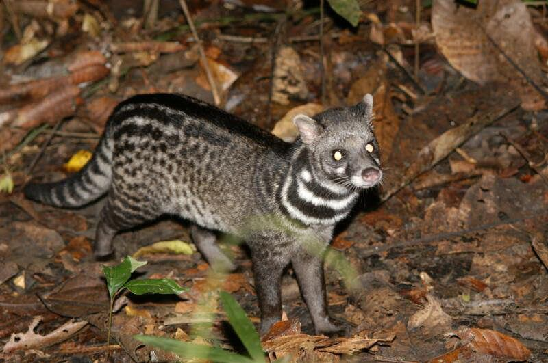 Malabar Civet.jpg