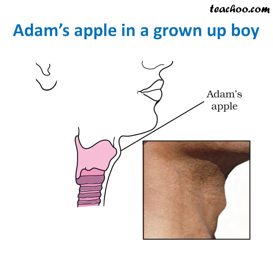 Adam's Apple in a grown up boy - Teachoo.jpg