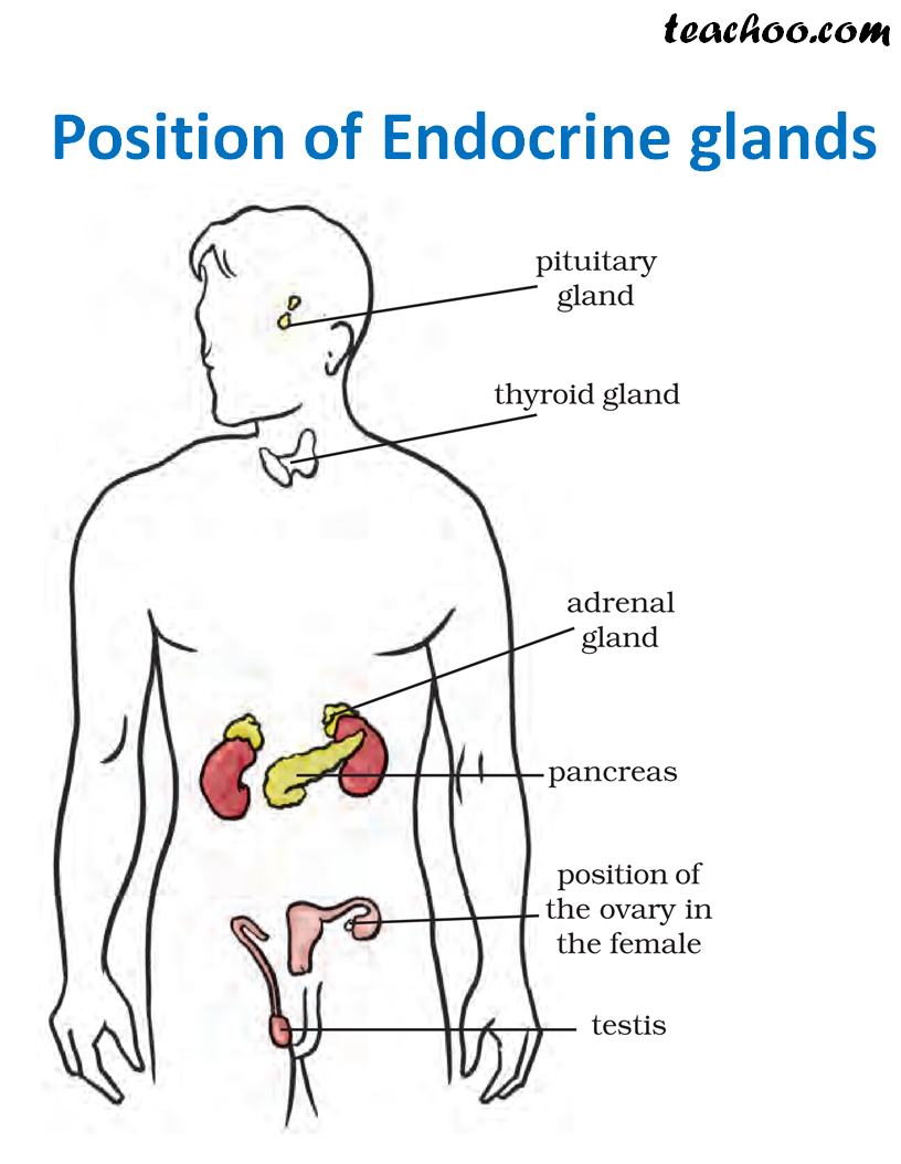 Position of Endocrine Glands - Teachoo.png