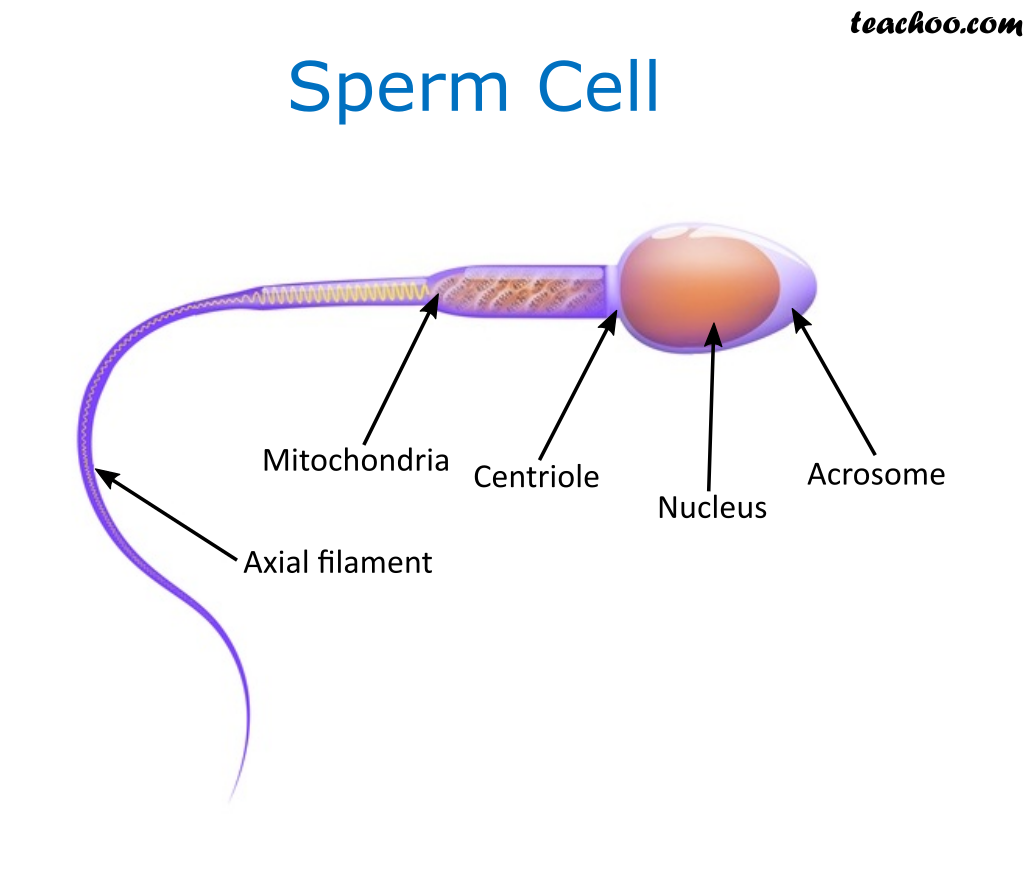 sperm Cell - Teachoo.png