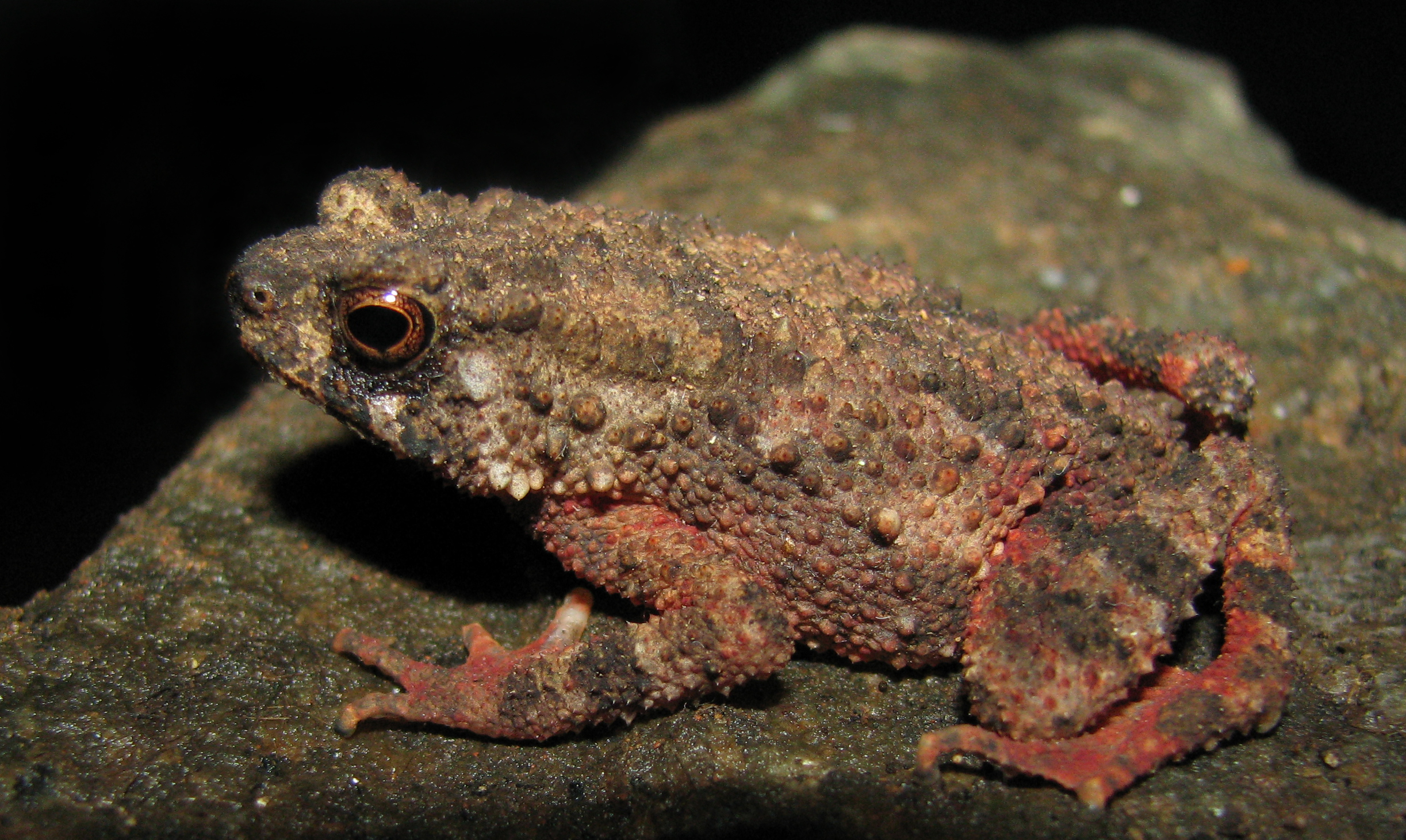 Beddome's toad - in Western Ghats, India.jpg