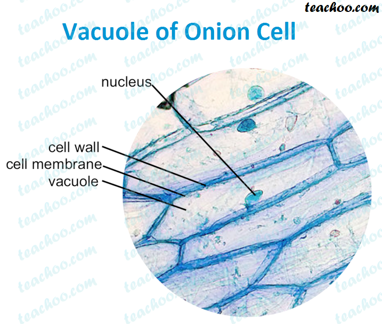vacuole-of-onion-cell.png