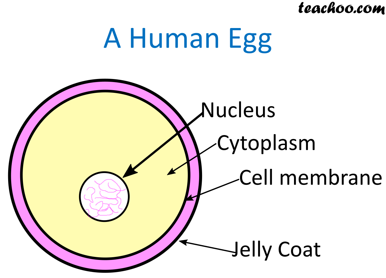 A human Egg Nuclues - Teachoo.png