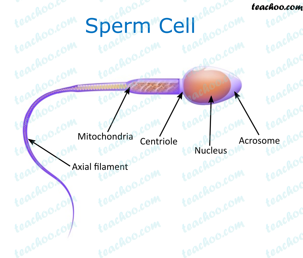 sperm-cell---teachoo.png