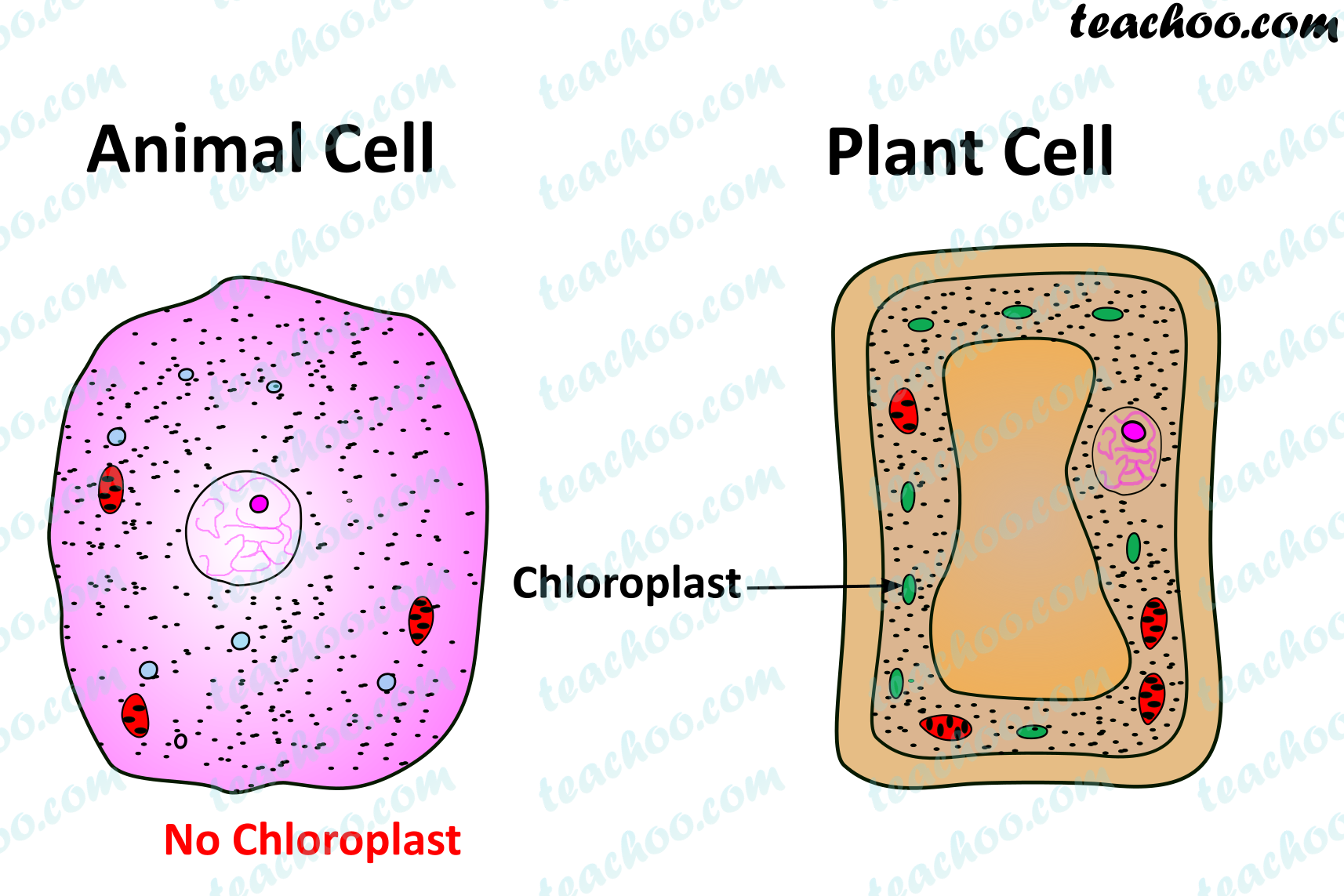 both-plant-and-animal-cell---chloroplast.png