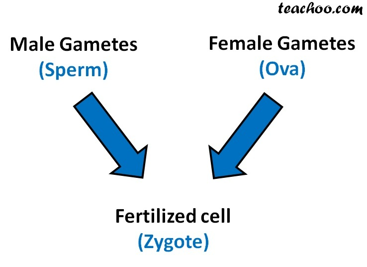 Male Gametes and Female gametes fertilized cell - Teachoo.jpg
