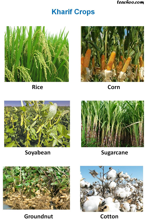 Rabi, Kharif and Zaid Crops - Explanation, Examples and ...