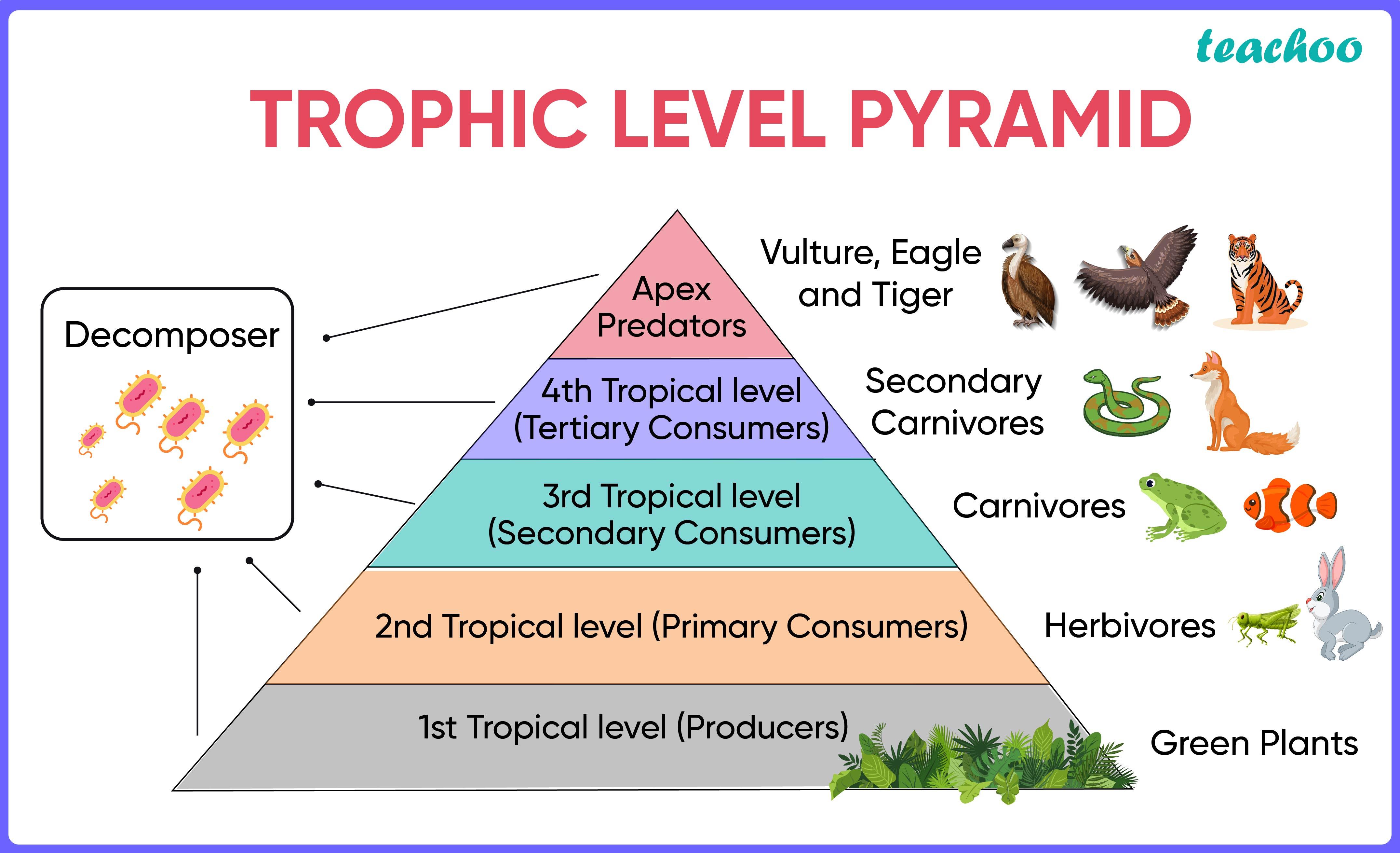 Trophic Level Pyramid-Teachoo-01.jpg