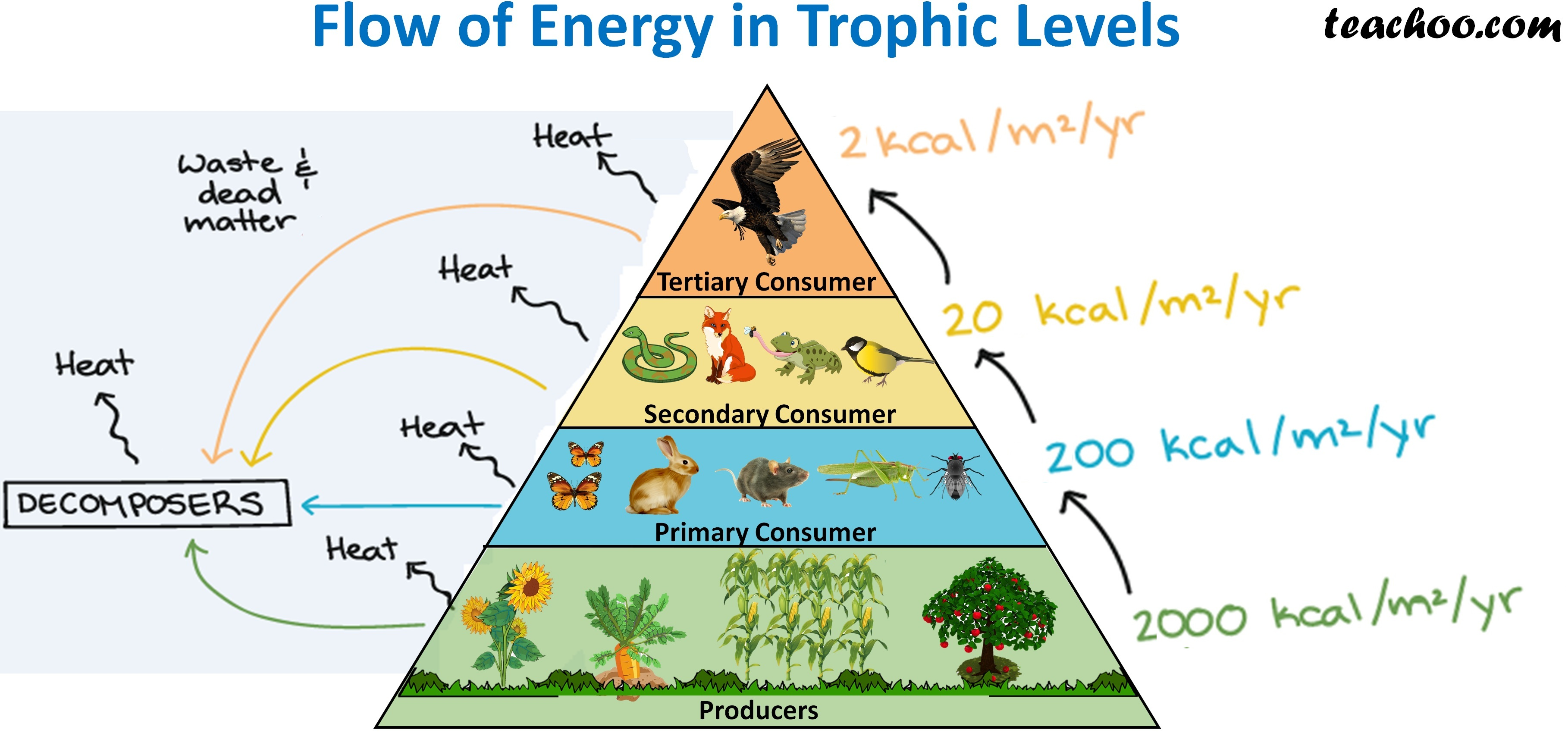 Flow of Energy in Trophic Levels - Teachoo.jpg