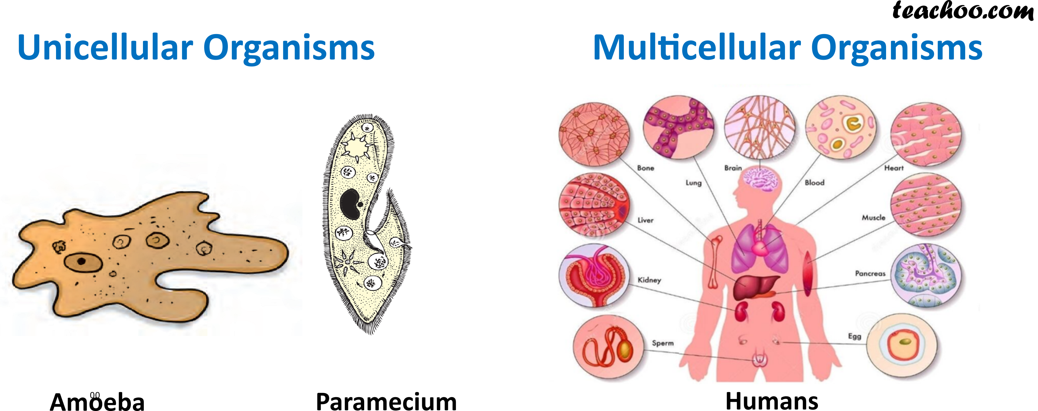 Unicellular Organisms and Multicellular Organisms - Teachoo.png