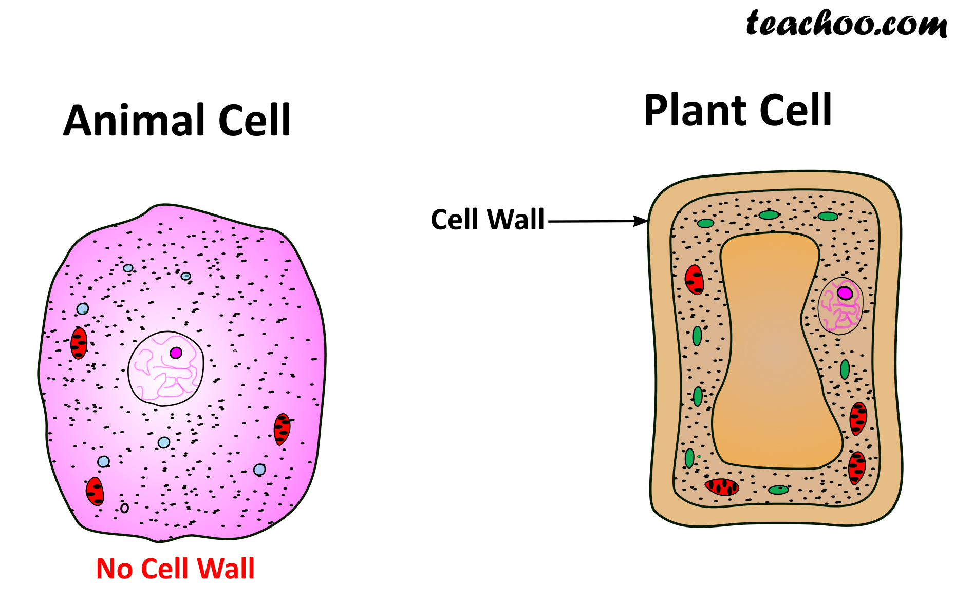 Animal Cell Diagram For Class 8 Cbse ~ DIAGRAM