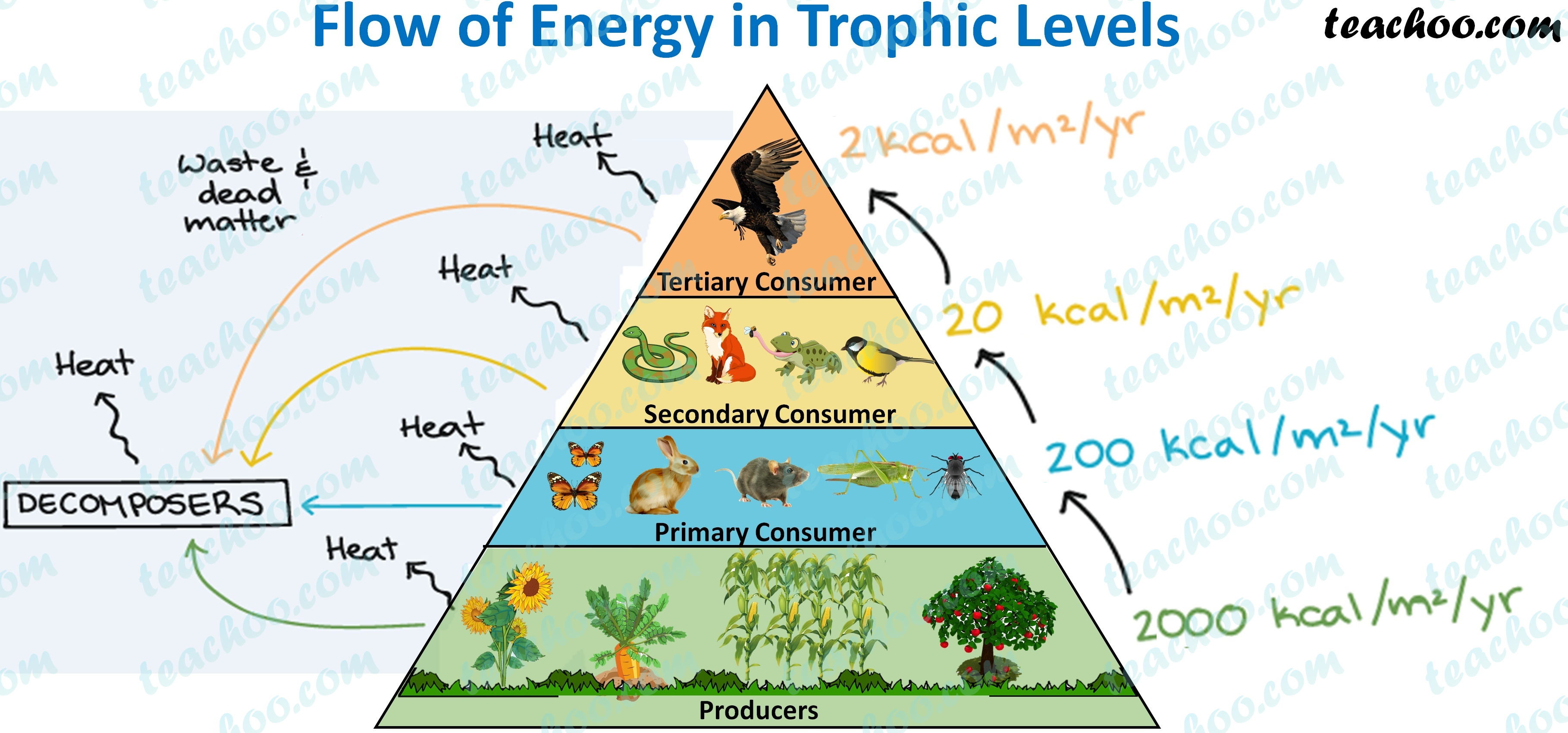 flow-of-energy-in-trophic-levels---teachoo.jpg