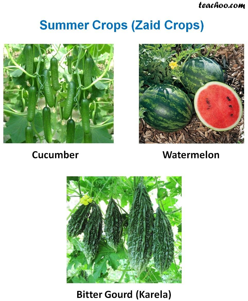 Summer Crops (Zaid Crops) - Examples.jpg