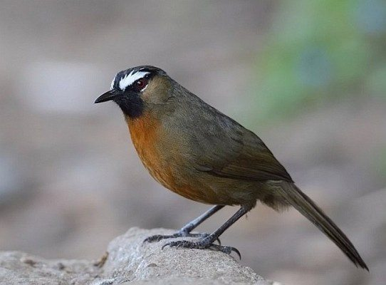 Nilgiri Laughing Thrush.jpg