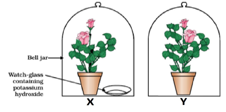 Q 52 - Case - potted plants were kept in the dark - Teachoo.jpg