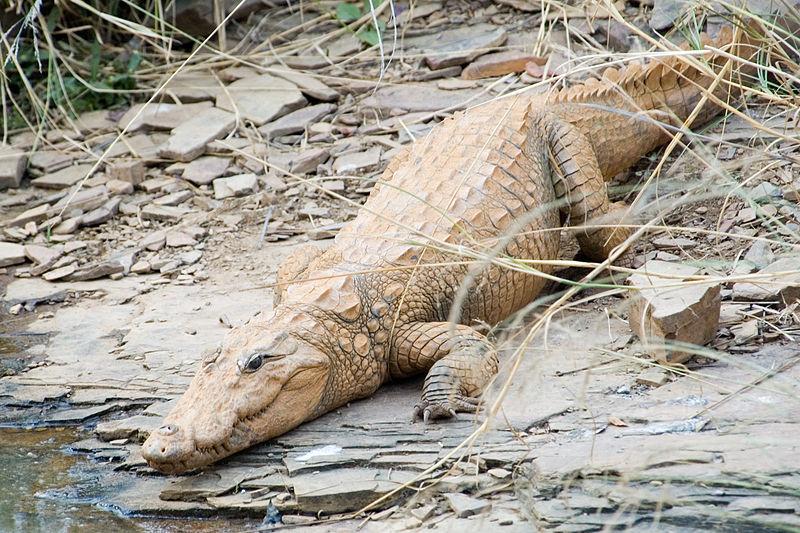Mugger crocodile - in Western Ghats.jpg