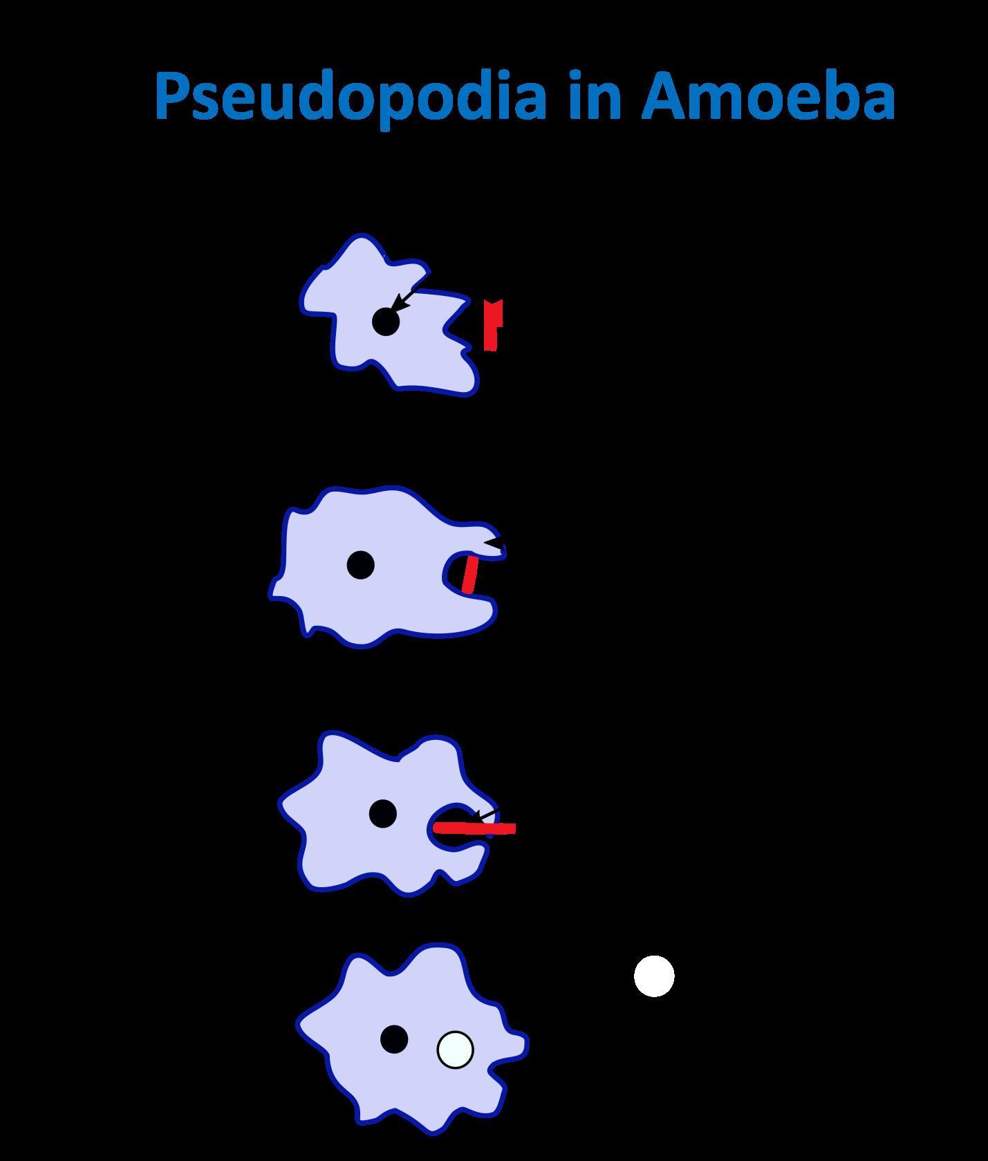 Pseudopodia in Amoeba.png