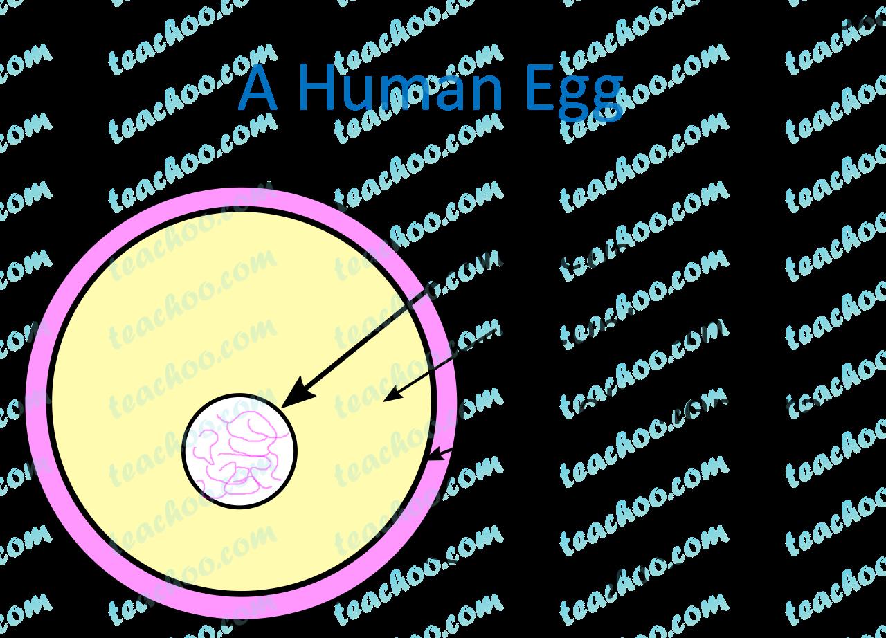 a-human-egg-nuclues---teachoo.png