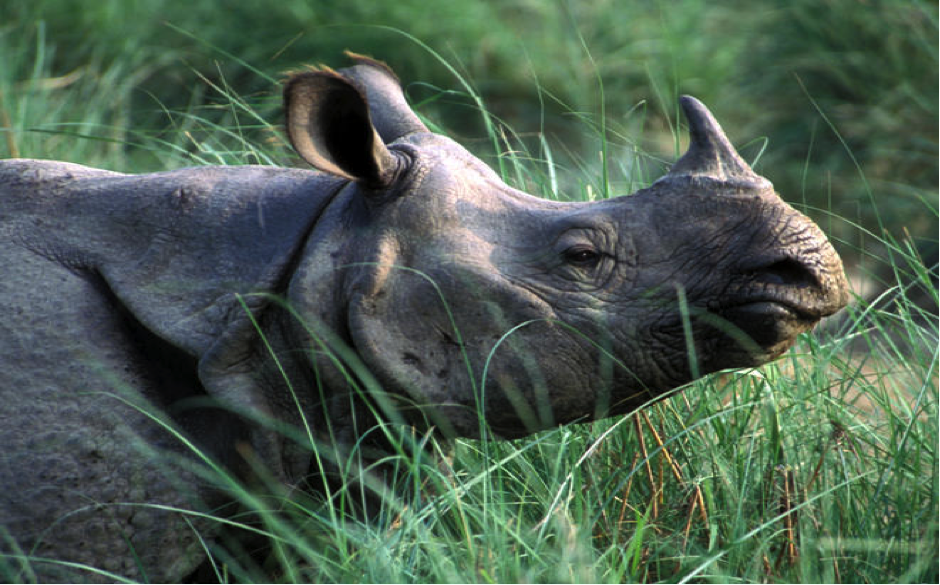 One-Horned Rhinoceros - in Western Ghats, India'.png