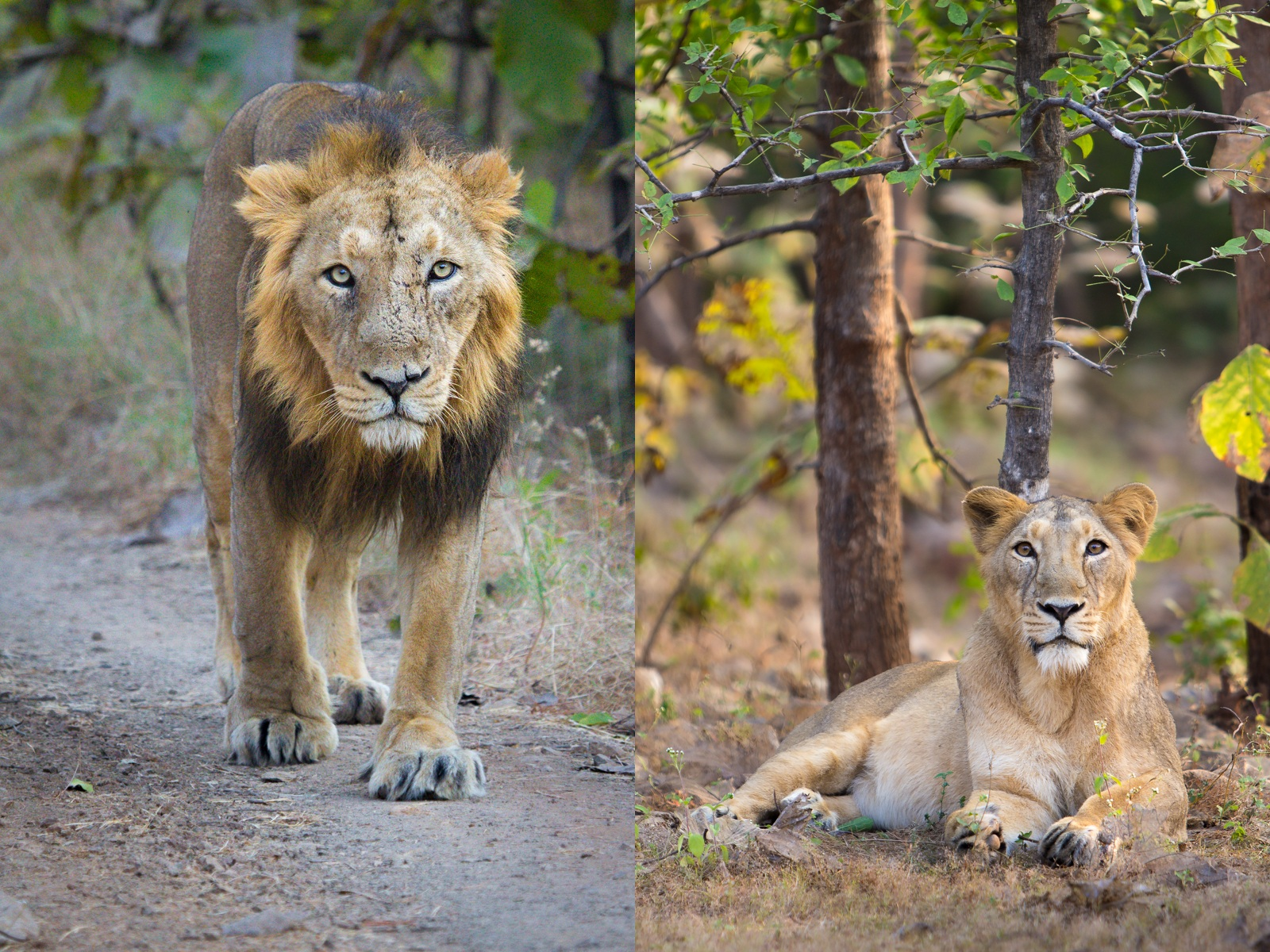 Asiatic Lion and Lioness - in Gir National Park.jpg