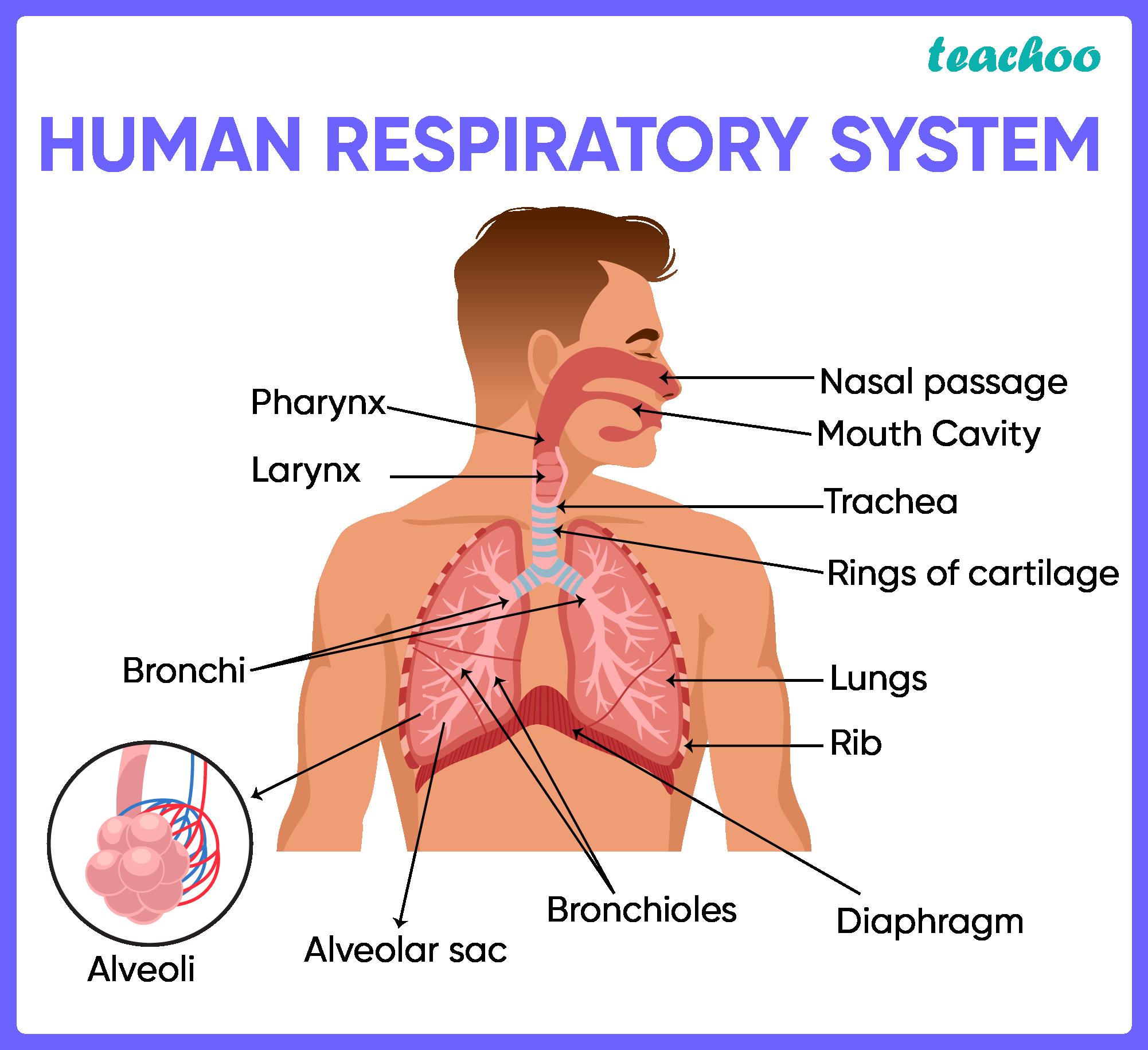 Human Respiratory System - Teachoo.png