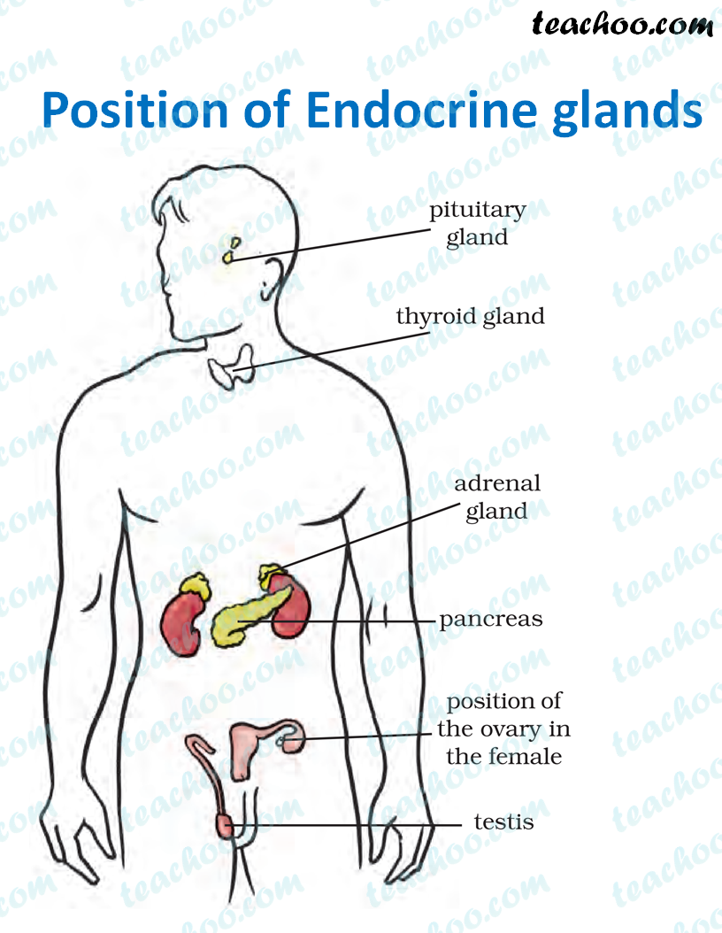 position-of-endocrine-glands---teachoo.png