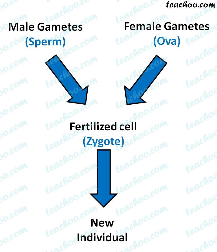 male-gametes-and-female-gametes-fertilized-cell-new-individual---teachoo.jpg